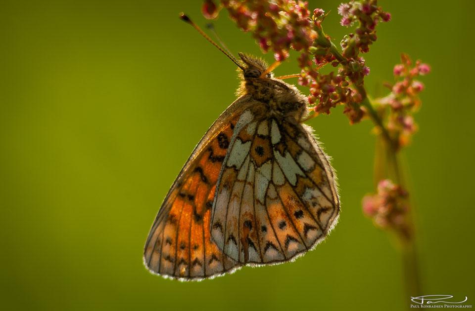 Nymphalidae/ Melitaeini. Håndholdt kamera.