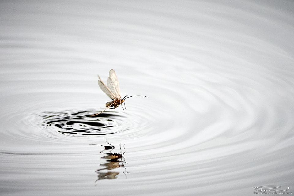 De lever et farlig liv, døgnfluene. Fikk dessverre ikke opptak av ørreten når den tok denne, bedre lykke en annen gang kanskje.