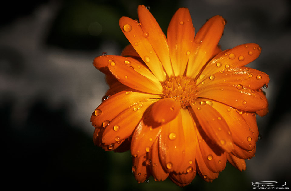 I kveld blir det en enkel Ringblomst (Calendula officinalis).