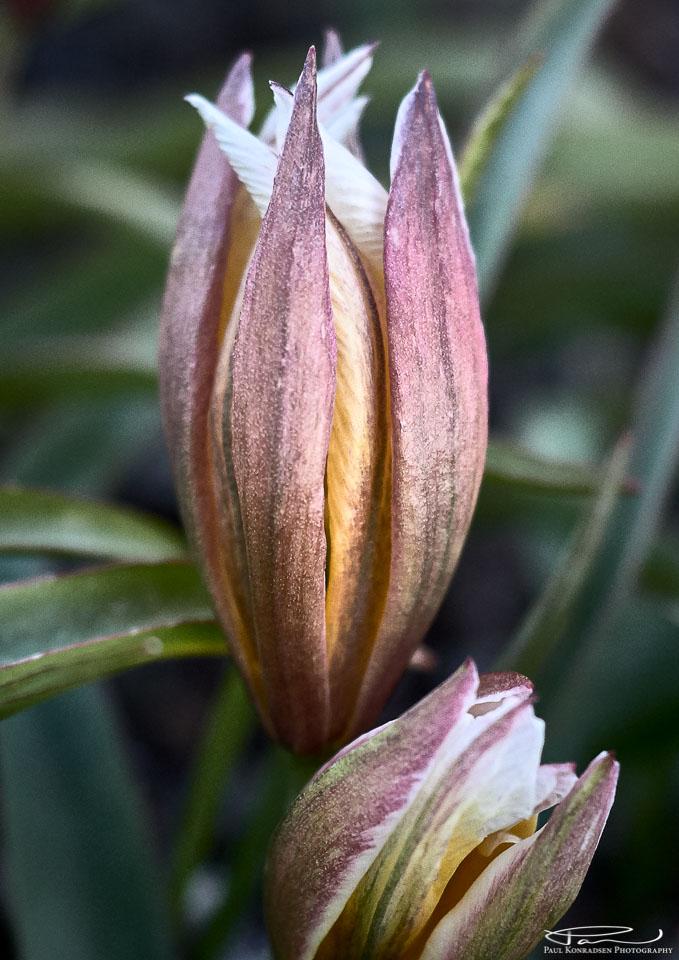 Skjermtulipan (Tulipa tarda)