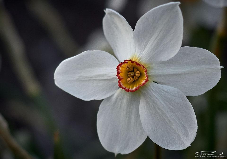 Pinseliljer er enkle blomster med hvite blomsterblad og en liten, farget bikrone. Blomstene dufter.