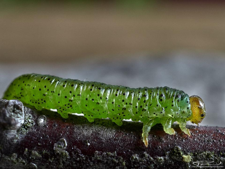 Traff på denne karen i dag. En liten sommerfugllarve, muligens møllarve.