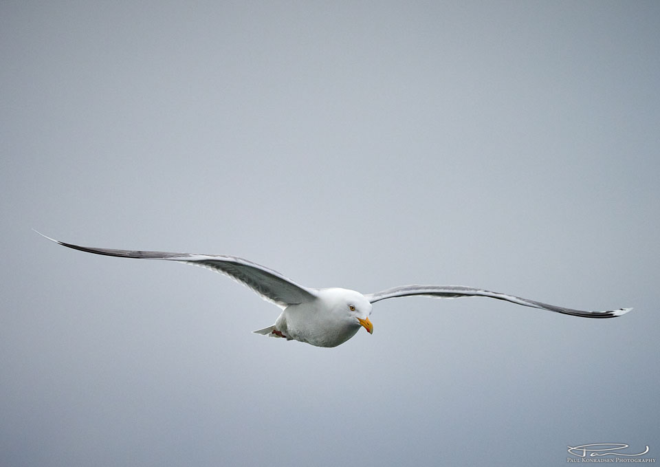 Ganske grasiøse vingebevegelser, selv på en vanlig måke.